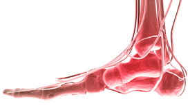 A digital representation of the foot's skeletal structure and nerve paths